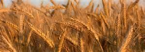 SimoneDavis_Naturopath_Barley
